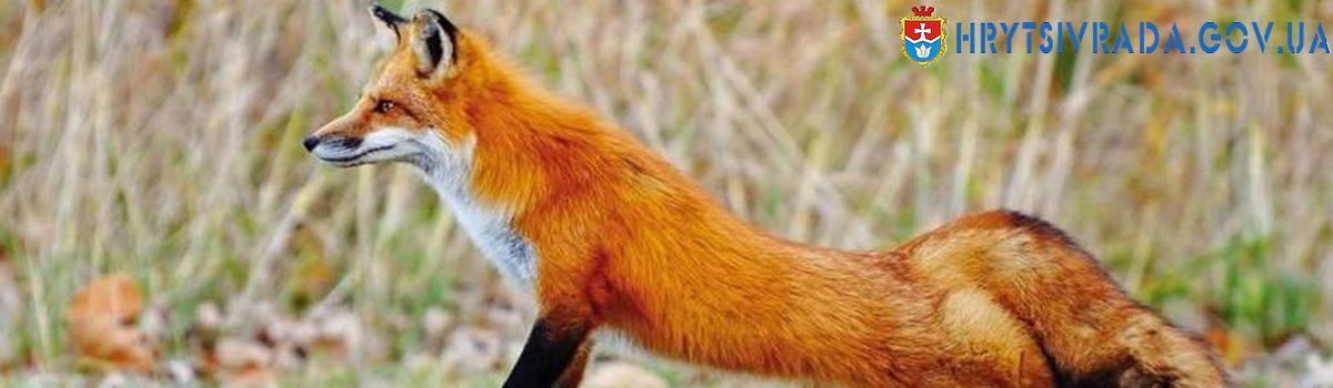 Проведення заходів з регулювання чисельності                                                                  червоної лисиці