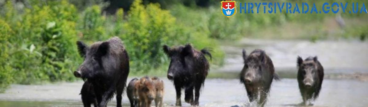 Африканська чума свиней не полишає Україну