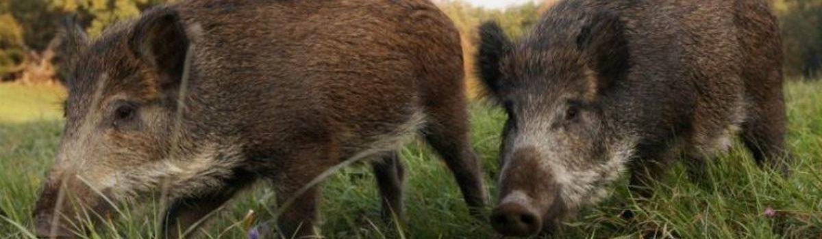 Контроль якості туш добутої дичини під час полювання