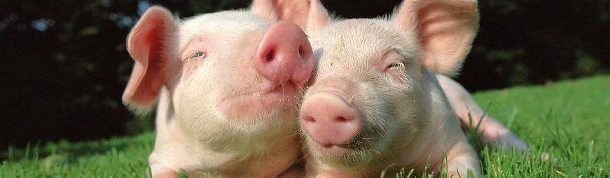 Африканська чума свиней: головне – заходи безпеки